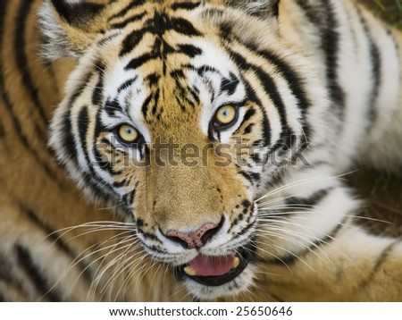 A Close Up of a Tiger's Tilted Head - stock photo