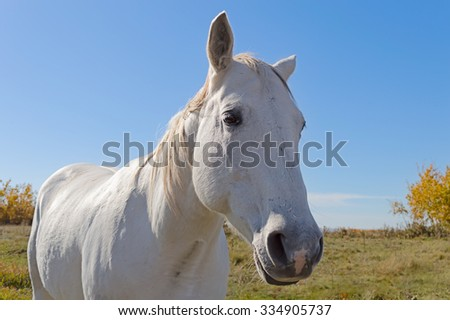 A close-up of a white horse with a white and gray mane. - stock photo