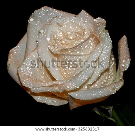 A close up of a white Rose - stock photo