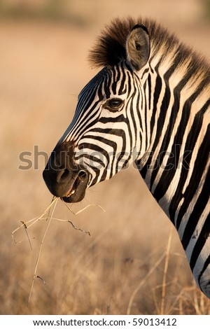 A close up of a zebra chewing a piece of grass - stock photo