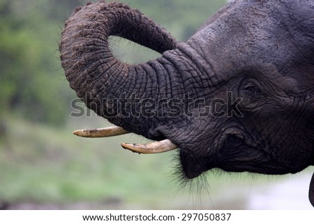 A close up of an african elephant. South Africa - stock photo