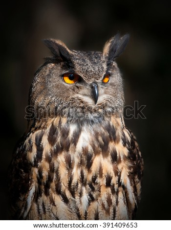 A Close up of an Eurasian Eagle Owl - stock photo