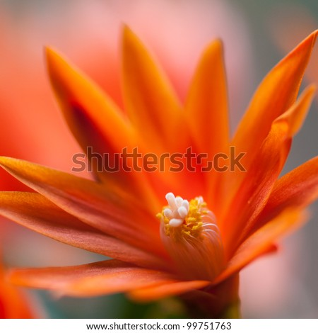 A close-up of an orange Easter cactus bloom. - stock photo