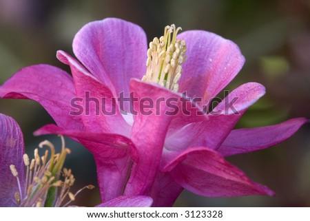 A close up of Aquilegia Vulgaris - stock photo