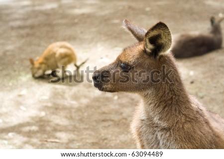 A close-up of australian kangaroo in wildlife park - stock photo