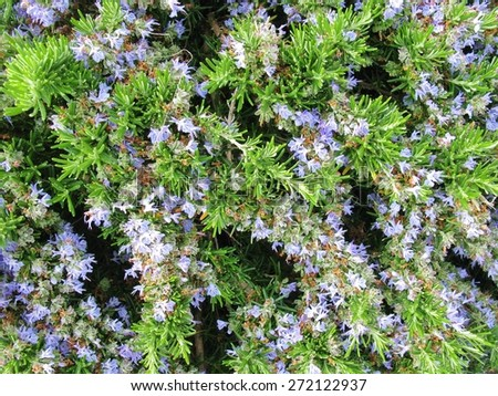A close up of blue flowering rosemary (rosmarinus officinalis) - stock photo