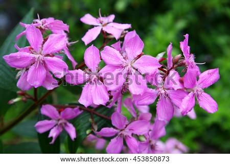 A close up of lasiandra flowers - stock photo