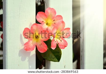 A close-up of pink and yellow azalea flowers in front of white picket fence. Selective focus - stock photo