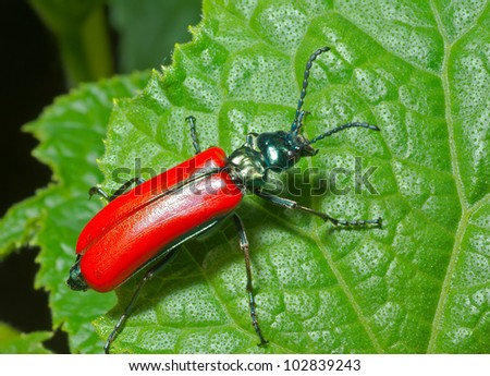 A close up of the beetle on leaf. - stock photo