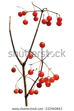A close up of the berries of arrow-wood. Isolated on white. - stock photo