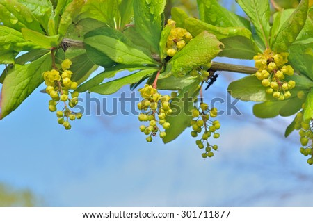 A close up of the blooming barberry (Berberis amurensis). - stock photo