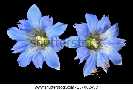 A close up of the blue flowers (Gentiana scabra) with two small spiders on petals. Isolated on black. - stock photo