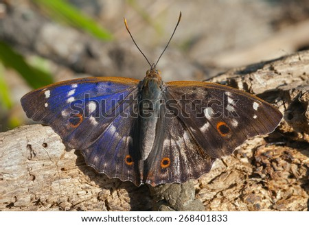 A close up of the butterfly (Apatura substituta). - stock photo