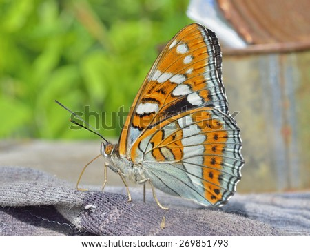 A close up of the butterfly (Limenitis populi ussuriensis), profile. - stock photo