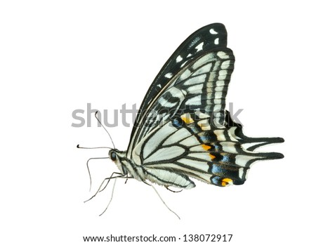 A close up of the butterfly swallowtail (Papilio xuthus). Isolated on white. - stock photo