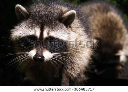 A close up of the face of a curious raccoon looking directly into the camera  - stock photo