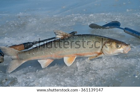 A close up of the fish (Leuciscus brandti), fishing-tackle and scoop on ice. - stock photo