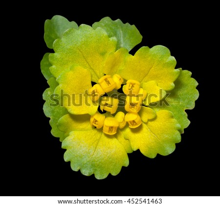 A close up of the flower (Ranunculaceae) of early spring. Isolated on black. - stock photo