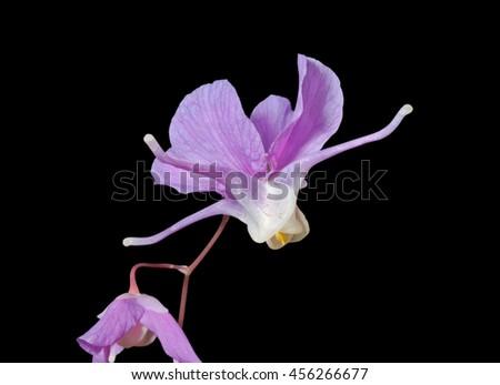 A close up of the flowers barrenwort (Epimedium macrosepalum). Isolated on black. - stock photo