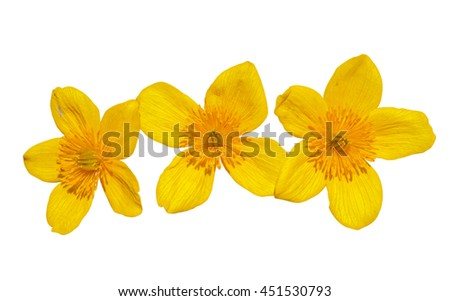 A close up of the flowers of kingcup (Caltha palustris). Isolated on white. - stock photo