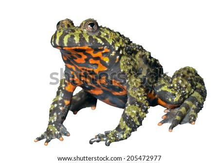 A close up of the frog (Far-eastern Fire-bellied Toad) (Bombina orientalis). Isolated on white. - stock photo
