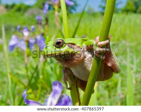 A close up of the frog hyla (Hyla japonica) on iris. - stock photo
