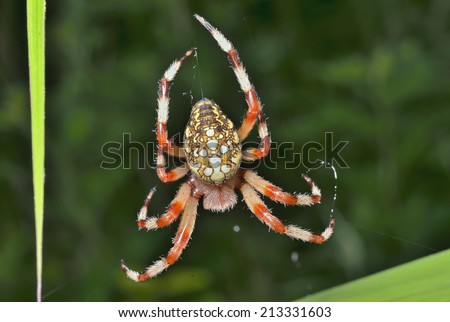 A close up of the garden-spider on spider-web. - stock photo