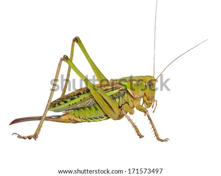 A close up of the grasshopper, doe. Isolated on white. - stock photo