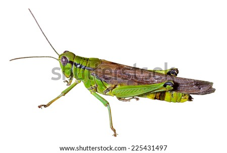 A close up of the grasshopper (Locust). Isolated on white. - stock photo