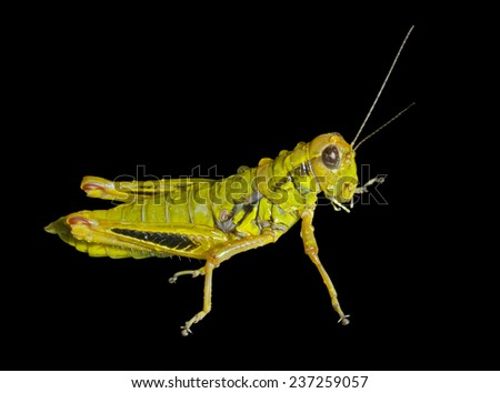 A close up of the grasshopper with raindrops. Isolated on black. - stock photo