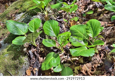 A close up of the medicinal herb bergenia (Bergenia pacifica). - stock photo