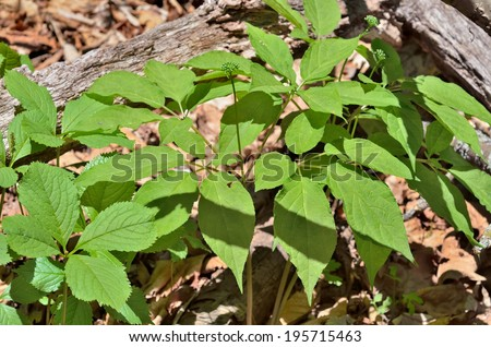 A close up of the most famous medicinal plant ginseng (Panax ginseng) with buds. - stock photo
