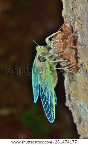 A close up of the new-born cicada on its skin. - stock photo