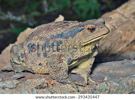 A close up of the toad (Bufo gargarizans). - stock photo