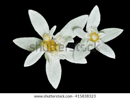 A close up of the two flowers edelweiss (Leontopodium pallibinianum). Isolated on black. - stock photo
