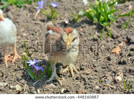 A close up of the very small chicken. - stock photo