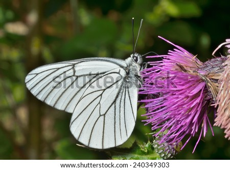 A close up of the white butterfly (black-weined white) (Aporia crataegi) on flower. - stock photo