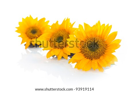 A close up of three yellow sunflowers with a white background. - stock photo
