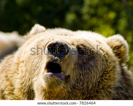 A close up on a big angry bear. - stock photo