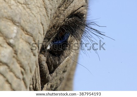 A close up photo of a elephants eye, eyelashes, wrinkles and face. Taken in South Africa.  - stock photo