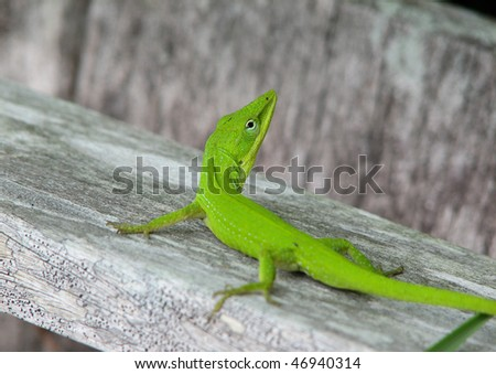 A close up photo of a green Anole lizard. - stock photo