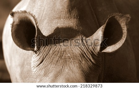 A close up photo of an endangered white rhino / rhinoceros ears. Listening carefully. - stock photo