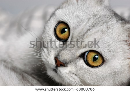 A close-up photo of british short-hair cat with big curious eyes - stock photo