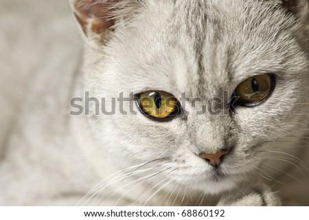 A close-up photo of cute british short-hair cat - stock photo