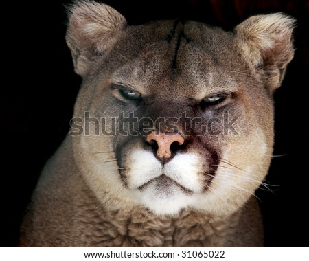 A close-up portrait of an adult male cougar (puma concolor) - stock photo