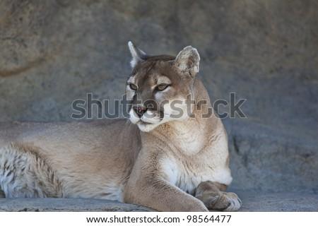 A close-up shot of a Mountain Lion (Puma concolor). - stock photo