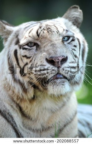A close up shot of a white Tiger - stock photo