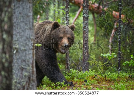 A close up shot of a wild big male brown bear in deep green european forest carefully watching surroundings and staring directly at the camera during arctic white night. - stock photo