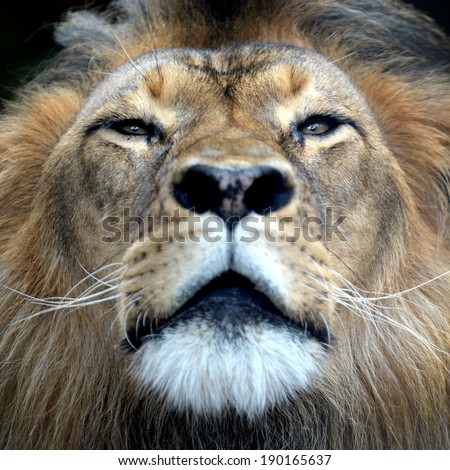 A close up shot of an African Lion - stock photo