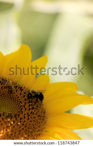 A close up view of a bee on a yellow sunflower (Helianthus annuus). - stock photo
